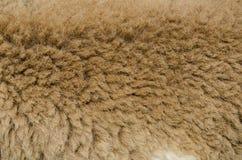 Brown sheep wool. Very closeup brown sheep wool and fure in the farm stock image
