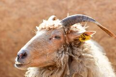 Brown Sheep With Yellow Tag on Ear Royalty Free Stock Photos