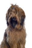Brown sheepdog Royalty Free Stock Photo