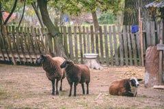 Brown sheeps at the farm stock photos