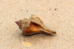 Brown shell Stock Images