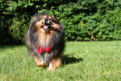 Brown Sheltie Photographie stock