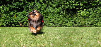 Brown Sheltie Royalty Free Stock Photos