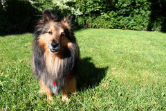 Brown Sheltie Stock Image