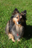 Brown Sheltie Royalty Free Stock Image