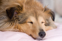 Brown sheltie. Sleeping, close up with shallow focus Stock Photos