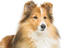 Brown sheltie dog Stock Images