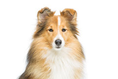 Brown sheltie dog Stock Images