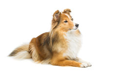 Brown sheltie dog Royalty Free Stock Images