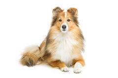 Brown sheltie dog. Beautiful brown sheltie dog isolated over white background. Copy space Royalty Free Stock Photo