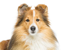 Brown sheltie dog Stock Photos