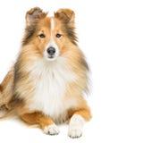 Brown sheltie dog Stock Photo