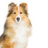Brown sheltie dog Stock Photos