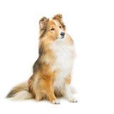 Brown-sheltie Hund stockfotografie