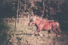 Brown Shetland koński mini mały Zdjęcie Stock
