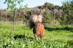 Brown Shetland koński mini mały Zdjęcie Royalty Free
