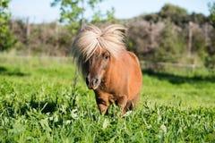 Brown Shetland koński mini mały Fotografia Stock