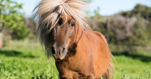Brown Shetland koński mini mały Obrazy Royalty Free