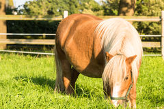 Brown Shetland pony Stock Photo
