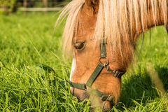 Brown Shetland pony Stock Images