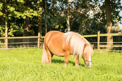 Brown Shetland pony Royalty Free Stock Photography