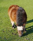 A brown shetland pony in winter Stock Images