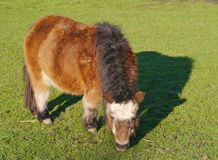 A brown shetland pony in winter Stock Photo