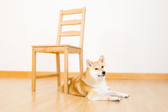 Brown shiba with chair Royalty Free Stock Photos