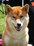 Brown shiba inu Royalty Free Stock Photos