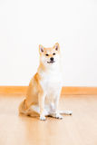 Brown shiba inu Royalty Free Stock Images