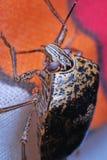 Brown shield bug stock image
