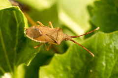 Brown Shield Bug Royalty Free Stock Photo