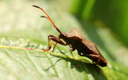 Brown shield bug Stock Images