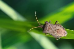 Brown shield bug on a grass. insect Pentatomidae on a greenery grass background. macro view, shallow depth of field.  Stock Photography