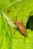 Brown shield bug sitting on the leaf Stock Photography