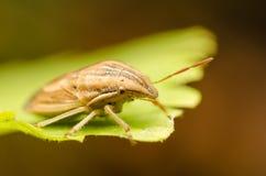 Brown Shield Bug Or Stink Bug stock photos