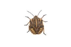Brown shield bug on a white background Stock Image