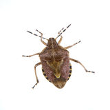Brown shield bug on a white background Royalty Free Stock Image