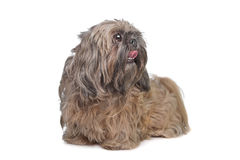 Brown Shih Tzu dog Stock Photo
