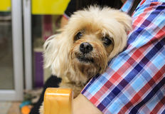 Brown shih-tzu dog. A brown Shih-Tzu in possess embrace stock photos