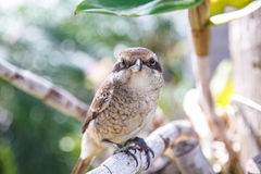 Brown shike bird Stock Photo