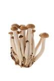 Brown shimeji mushroom Stock Photo