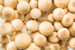 Brown shimeji mushrooms Royalty Free Stock Photography
