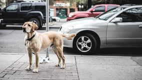 Brown Short Coated Large Dog Near Grey Car Stock Image