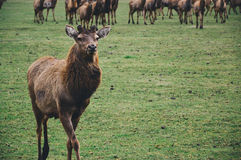 Brown Short Coated Mamml on Green Grass Fields Royalty Free Stock Photo