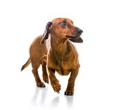 Brown short hair dachshund dog Royalty Free Stock Photos