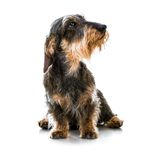 Brown short hair dachshund dog Royalty Free Stock Photography