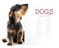 Brown short hair dachshund dog Royalty Free Stock Images