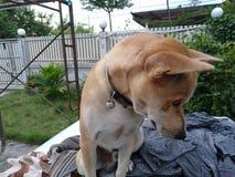 Dog. Brown short hair dog sitting outdoor Stock Image