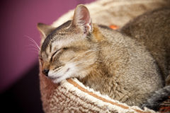 Brown short-haired cat sleeps. On the bed Royalty Free Stock Images
